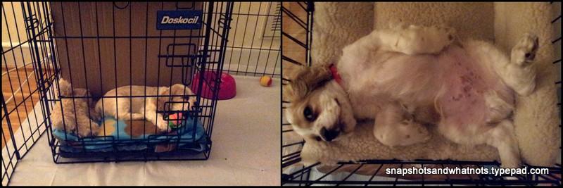 Boomer - puppy pics1