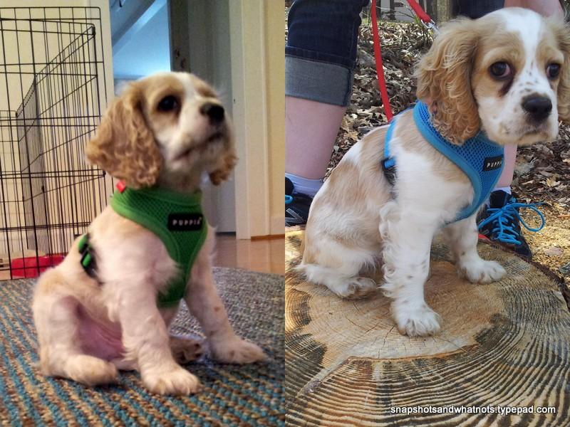Boomer - puppy pics2