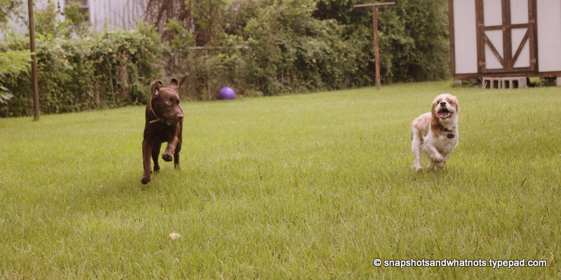 Puppy playdate (7)