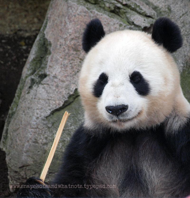 Panda at San Diego Zoo - snapshotsandwhatnots