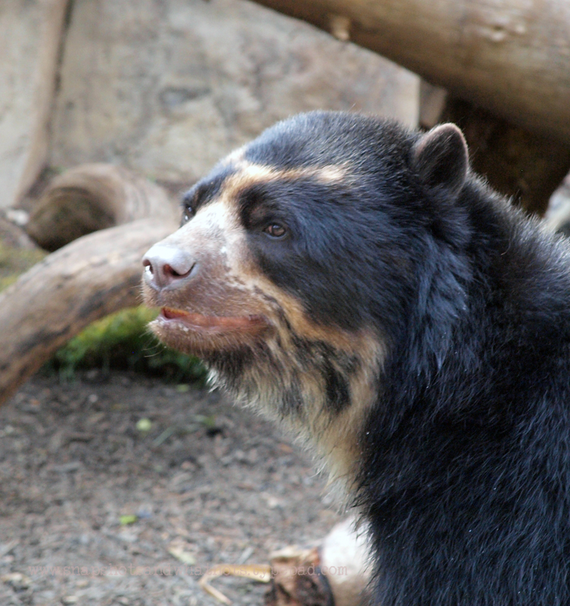 Sun Bear at San Diego Zoo - snapshotsandwhatnots