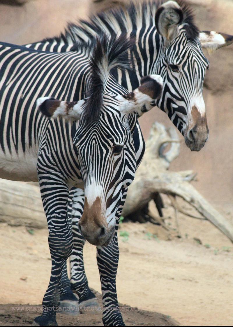Zebra at San Diego Zoo - snapshotsandwhatnots