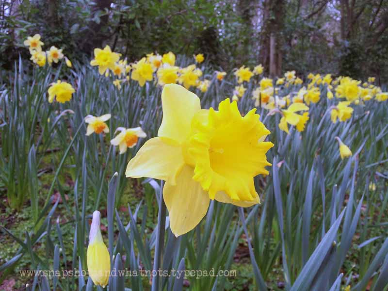 Daffodils at Malahide Castle