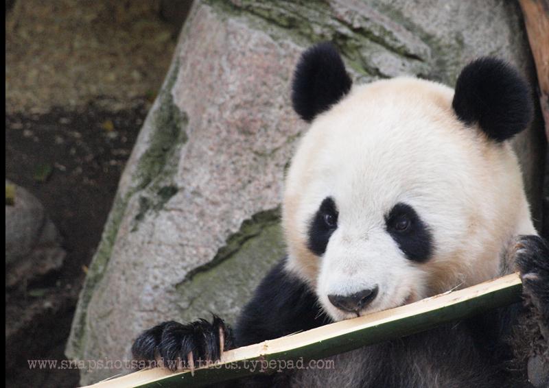 Panda at San Diego Zoo - snapshotsandwhatnots (2)