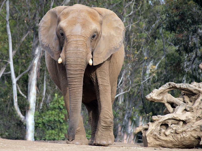 Elephant at San Diego Zoo - snapshotsandwhatnots