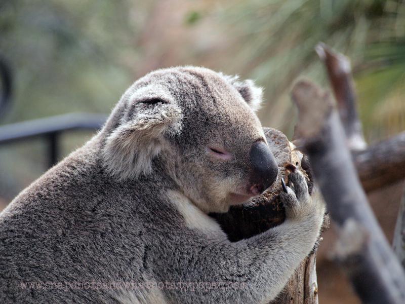 Koala at San Diego Zoo - snapshotsandwhatnots