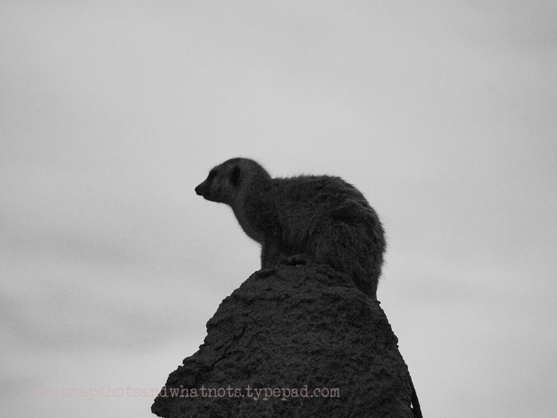 Meerkat at San Diego Zoo - snapshotsandwhatnots