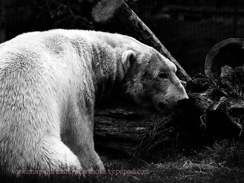 Polar Bear at San Diego Zoo - snapshotsandwhatnots (2)