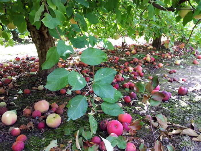 Apple picking in north carolina (4)
