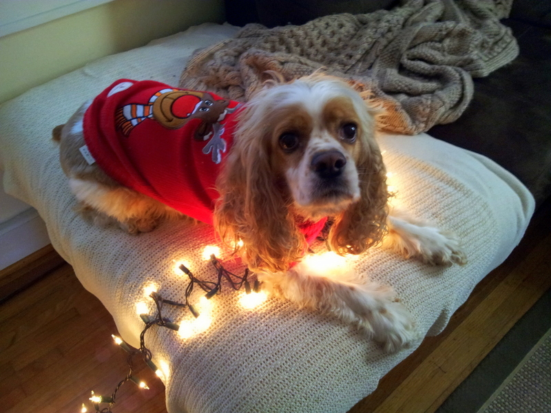 Cocker Spaniel at Christmas time